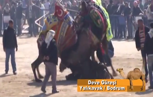 Yalikavak, Bodrum Peninsula Turkey Camel Wrestling video